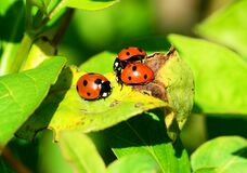 Red Ladybug on Green Leaf Royalty Free Stock Images