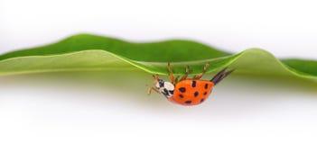Red ladybug on a green leaf facing upside down. Harmonia axyridis stock images