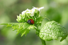 Red ladybug Stock Photos