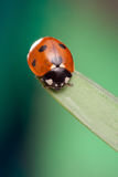 Red ladybug on green leaf, ladybird creeps on stem of plant in s Royalty Free Stock Image