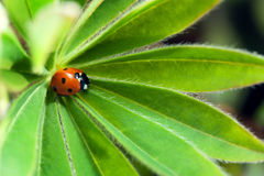 Red ladybug on green leaf, ladybird creeps on stem of plant in s Stock Photos