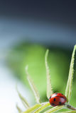 Red ladybug on green leaf, ladybird creeps on stem of plant in s Stock Photo