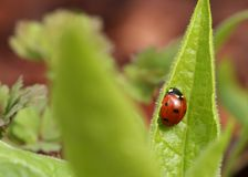 Red ladybug on a green leaf stock photography