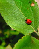 Red Ladybug on green leaf stock photos