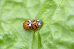 Red ladybug on a green leaf stock photos