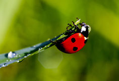 Red ladybug hanging from the green grass. Small red ladybug hanging from the green grass Stock Images