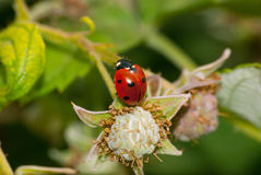 Red ladybug on immature berries Royalty Free Stock Image