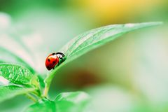 Red Ladybug Insect On Green Leaf. Macro Royalty Free Stock Images