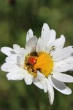Red Ladybug on a Large White Daisy. Royalty Free Stock Images