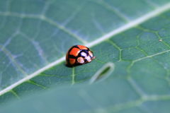 Red ladybug lay on a leaf Royalty Free Stock Photo