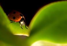 Red ladybug on leaf Royalty Free Stock Image