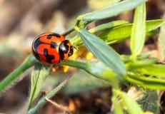 Red ladybug macro nature. Royalty Free Stock Images