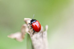 red ladybug perched on leaves Royalty Free Stock Photography