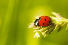 Red Ladybug on plant, blurred background. Red Ladybug on plant, green blurred background. Coccinella septempunctata, selective focus Stock Photo