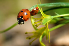 Red ladybug Stock Images