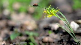 Red ladybug stock video footage