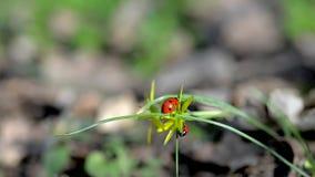 Red ladybug stock video