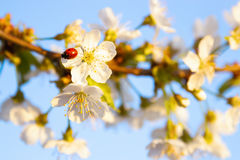 Red ladybug sits on the enchanted branch of cherry blossom. Stock Photo
