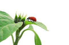 Red ladybug sitting in green leaf. Isolated on white background Stock Photography