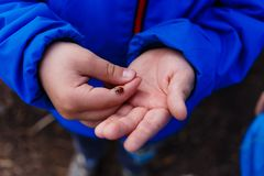 Red ladybug sitting on the hands of a child stock photography