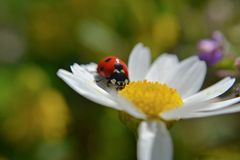 Red ladybug at the spring daisy flower/ spring scene/ close and macro nature details photography. Closeup nature details photography/ adorable red ladybug Stock Photos