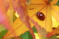 Red ladybug surrounded by fall foliage. stock images