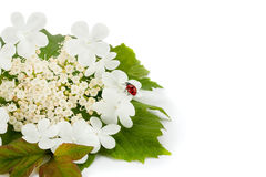 Red ladybug on a white flower. royalty free stock photo