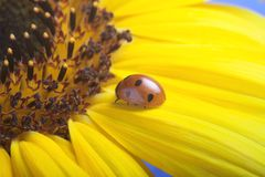 Red ladybug on on yellow flower, ladybird creeps on stem of plan. T in spring in garden in summer Stock Photos