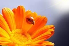 Red ladybug on on yellow flower, ladybird creeps on stem of plan Royalty Free Stock Image