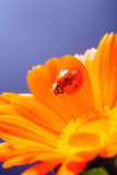 Red ladybug on on yellow flower, ladybird creeps on stem of plan Royalty Free Stock Images