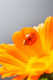 Red ladybug on on yellow flower, ladybird creeps on stem of plan. T in spring in garden in summer Royalty Free Stock Photography