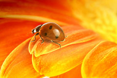 Red ladybug on yellow flower Stock Photos