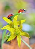 Red ladybug on yellow flowers Royalty Free Stock Photo
