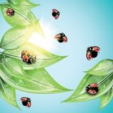 Red ladybugs on the green leaves. Royalty Free Stock Photo