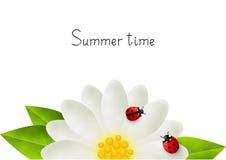 Red ladybugs on white flower Stock Images