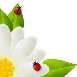 Red ladybugs on white flower Stock Photo