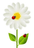 Red ladybugs on white flower Royalty Free Stock Photography