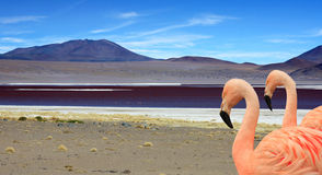 Red lakes in Bolivia and flamingos Royalty Free Stock Photography