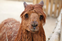 Red Lama Royalty Free Stock Photography
