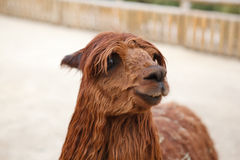Red Lama Stock Photography