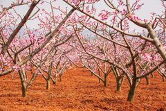 Red land and blooming Peach cherry in the branches of trees, pink flowers in full bloom. Spring blossom. Dongchuan, Kunming stock image