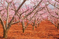 Red land and blooming Peach cherry in the branches of trees, pink flowers in full bloom. Spring blossom. Dongchuan, Kunming royalty free stock photo