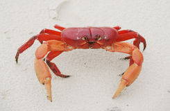 Red land crab, Cardisoma crassum, Royalty Free Stock Images