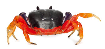 Red land crab, Gecarcinus quadratus Stock Photo
