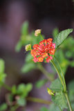 Red Lantana. The branch of  lantana flower.It is the red bunch Stock Photos