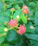 Red Lantana Stock Images