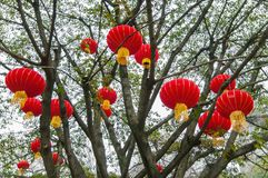 Red lanterns decorated on tree branches to celebrate Chinese New Year stock image