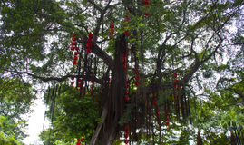 The red lanterns hang on the tree. Lanterns hang on the tree with green background Royalty Free Stock Image