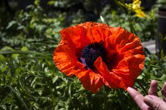 Red large poppy blooms, decorative papaver flower on a clear sunny day.  stock photo