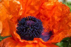 Red large poppy blooms, decorative papaver flower on a clear sunny day.  stock photography